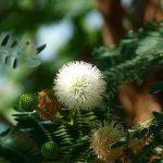 बबूल ट्री (Babool Tree) के बारे में फायदे और नुकसान